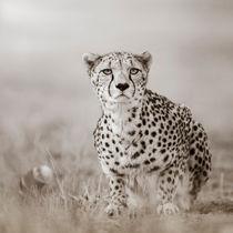 Lurking Cheetah by Regina Müller