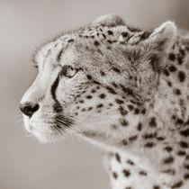 Cheetah Portrait by Regina Müller
