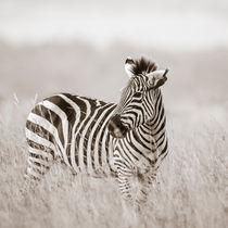 Zebra, Masai Mara, Kenya von Regina Müller