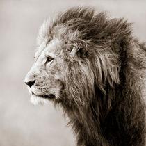 Male Lion, Masai Mara, Kenya by Regina Müller