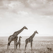 Giraffes, Masai Mara, Kenya by Regina Müller
