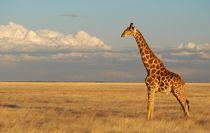 Giraffe at sunset by Shaun Toft