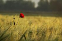 Einsame Mohnblume von Andrea Gehrig