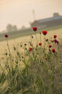 Frühe Mohnblumen von Andrea Gehrig