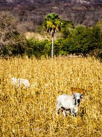 Cow And Corn by tapinambur