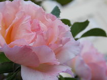 Soft Roses by bebra by bebra