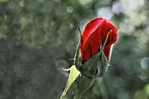 Rose - rosacea von ropo13