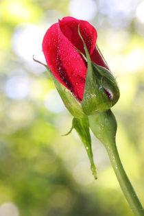 Rote Rose - red rose von ropo13