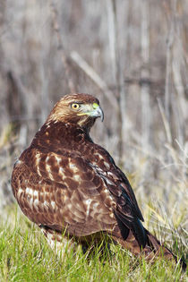 Young Red-tailed Hawk in Winter Plumage by Kathleen Bishop