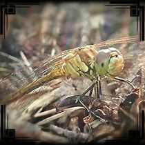 Libelle von Shiva B.