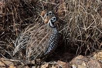 Camouflage Quail von Kathleen Bishop
