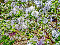 White Flowers in Glenwood by sherrys-camera
