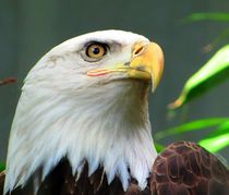 American  Bold Eagle von Maks Erlikh