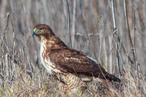 Red-tailed Hawk in Winter Plumage by Kathleen Bishop