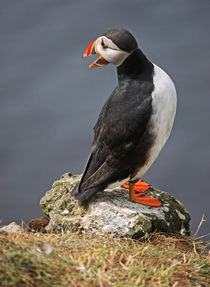 "[impressions of scotland] - puffin ""kleiner Schreihals"" by meleah"