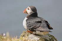 "[impressions of scotland] - puffin ""watching"" von meleah"