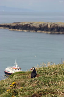 "[impressions of scotland] - puffin ""Fernweh"" by meleah"