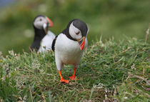 "[impressions of scotland] - puffin "" no fish :-( "" by meleah"