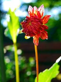 Dahlia blooming