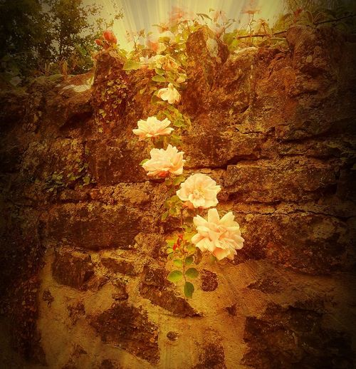 Grannies-roses