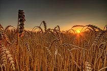 Weizen by photoart-hartmann