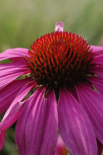 Echinacea blossom by dag