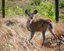 Young-deer-org