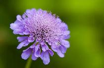 Purple flower against green background by Pieter Tel