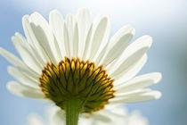 Daisy in the sun von Pieter Tel