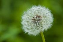 Close up of a dandelion von Pieter Tel