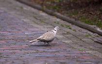 Taube im Dorf - Dove in the village by ropo13