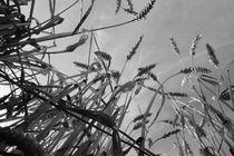 Im Weizenfeld - In Wheat Field by ropo13