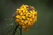 Yellow-ball-flower-org