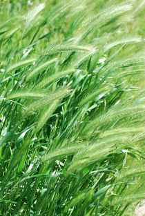 Wheat Grass von agrofilms
