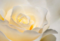 White Rose Blooming by agrofilms