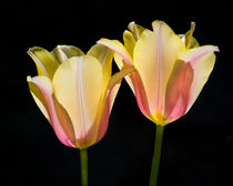 Twin Sister Tulips by agrofilms