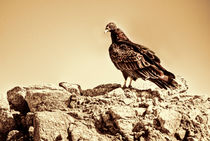 Turkey Vulture by agrofilms