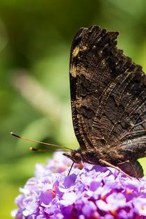 Durstiger Schmetterling by Andrea Gehrig