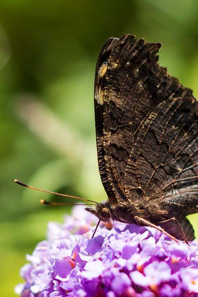 Schmetterlilng