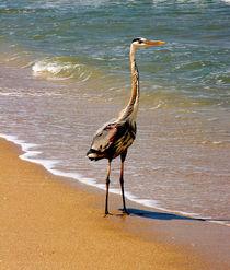 Great Blue Heron On The Surf. von chris kusik