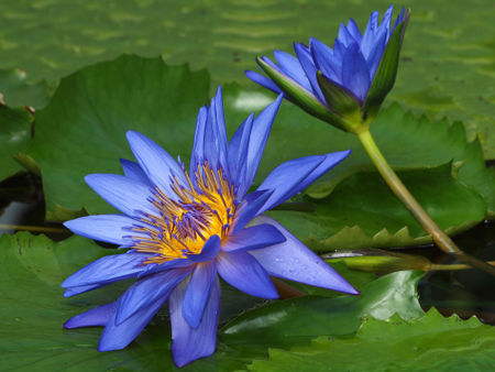 Blaue-seerose1235pe