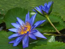 Blaue Seerose, nymphaea, Lotosblüte, water lily, blue von Dagmar Laimgruber