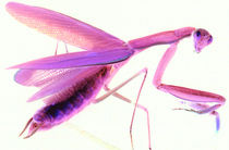 Mantis in Pink by Rainar Nitzsche