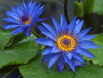 Seerosen, blaue Lotosblüten, nymphaea, water lily, blue by Dagmar Laimgruber