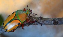 Afrikanischer Rosenkäfer, eudicella euthalia,Männchen, rose chafer, african beetle, bug, male von Dagmar Laimgruber