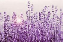 Lavendelduft von Violetta Honkisz