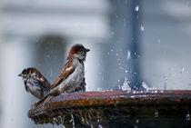 Bathing Sparrows von agrofilms