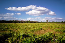 Palmetto Field. Three Lakes Wildlife Management Area, Osceola county FL by chris kusik