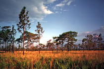 Sand Pine And Sedge. Three Lakes Wildlife Management Area, Osceola County FL von chris kusik