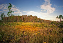 Cypress Dome And Black-eyed Susans. Three Lakes Wildlife Management Area, Osceola County FL.. by chris kusik